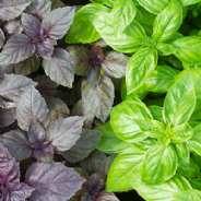 Basil Red 150 seeds and Green 350 seeds
